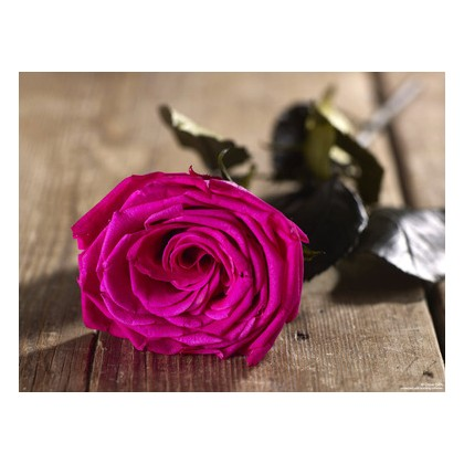 Grow Gifts Long Lasting Roses - Electric Pink - Large Head, Short Stem
