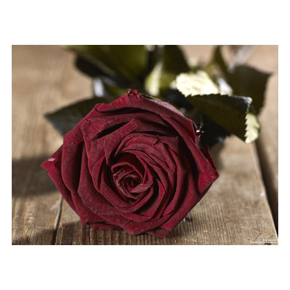 Grow Gifts Long Lasting Roses - Dark Red - Large Head, Short Stem