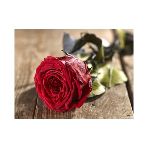 Grow Gifts - Long Lasting Roses - Blood Red - Large Head - Short Stem