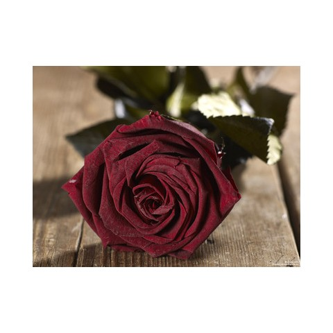 Grow Gifts - Long Lasting Roses - Dark Red - Large Head - Short Stem