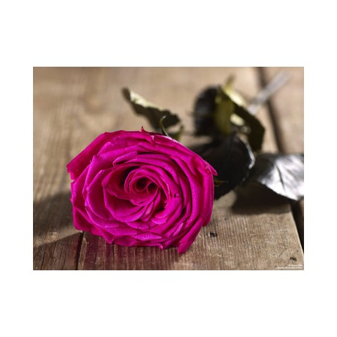 Grow Gifts - Long Lasting Roses - Electric Pink - Large Head - Short Stem