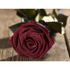 Grow Gifts Long Lasting Roses - Dark Red - Large Head, Short Stem