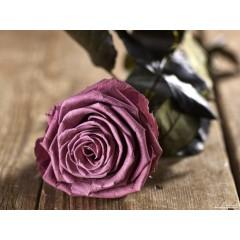 Grow Gifts - Long Lasting Roses - Plum - Large Head - Short Stem