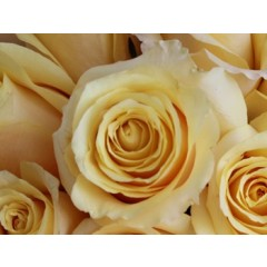 Grow Gifts Long Lasting Roses - Butter Yellow - Large Head, Short Stem