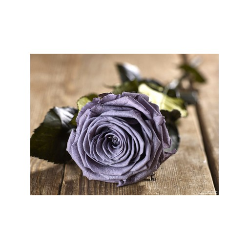 Grow Gifts Long Lasting Roses - Lilac - Large Head, Short Stem