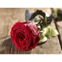 Grow Gifts Long Lasting Roses - Blood Red - Large Head, Short Stem