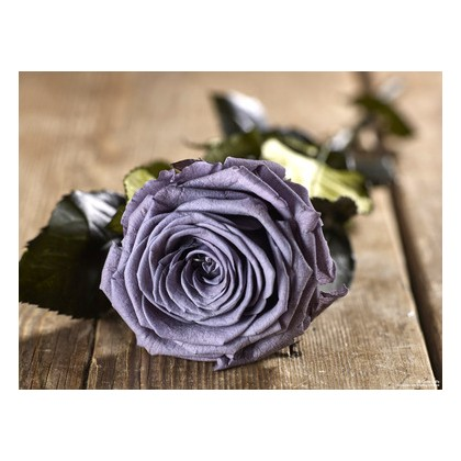 Grow Gifts - Long Lasting Roses - Lilac - Large Head - Short Stem