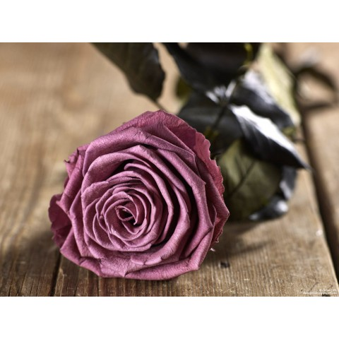Grow Gifts - Long Lasting Roses - Plum - Large Head - Short Stem
