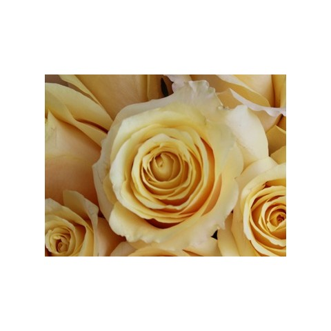 Grow Gifts - Long Lasting Roses - Butter Yellow - Large Head - Short Stem